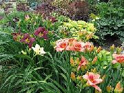 garden flowers claret Daylily  Hemerocallis photos, description, cultivation and planting, care and watering
