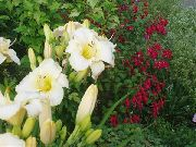 garden flowers white Daylily  Hemerocallis photos, description, cultivation and planting, care and watering