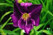 garden flowers purple Daylily  Hemerocallis photos, description, cultivation and planting, care and watering