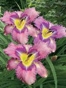 garden flowers lilac Daylily  Hemerocallis photos, description, cultivation and planting, care and watering