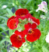 Садовый цветок высокий цветет красным