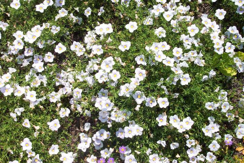 garden flowers white Cup Flower Nierembergia photos, description, cultivation and planting, care and