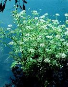 garden flowers white Water Celery, Water Parsley, Water Dropwort  Oenanthe  photos, description, cultivation and planting, care and watering