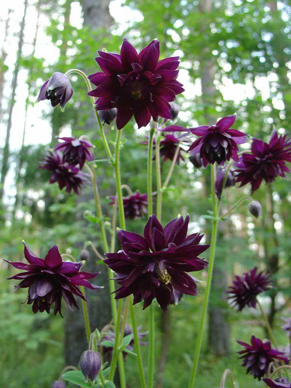 Цветок аквилегия посадка и уход, фото, выращивание из семян 79