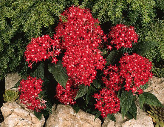 Купить цветы пентас красный и белый белые тюльпаны купить новосибирск