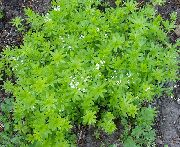 Magus Woodruff, Meie Daami Pits, Sweetscented Bedstraw valge Lill