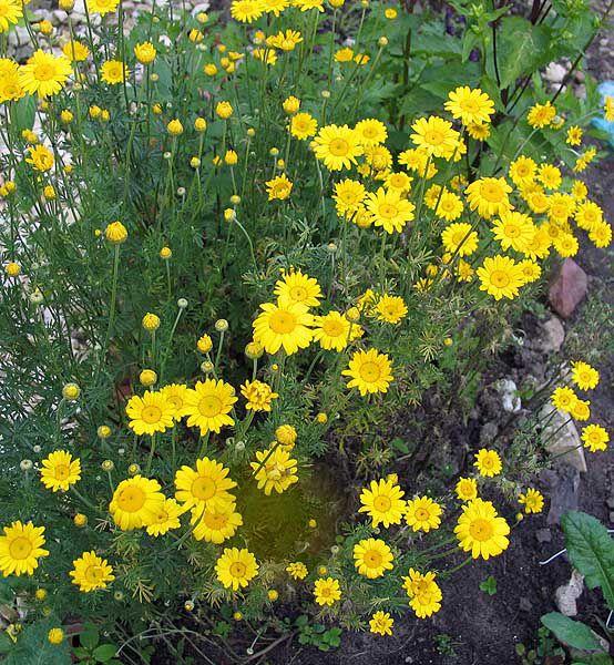Желтые уличные цветы