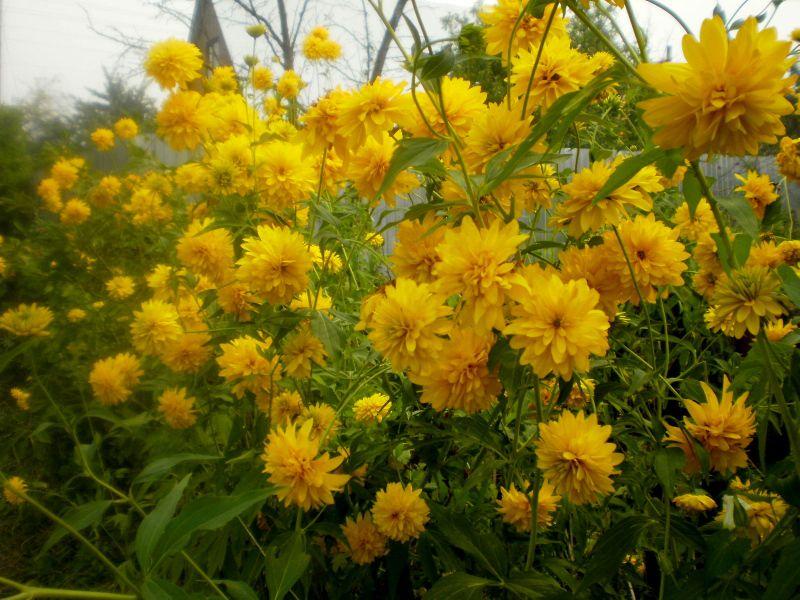 рудбекия жёлтая фото