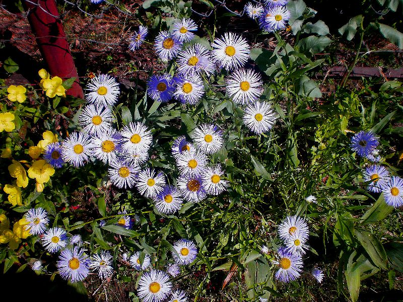 Asters Flowers Care Flowers Lilac Ialian Aster Amellus Photo Source Zvetki ru