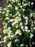 garden flowers white Winged everlasting Ammobium alatum photos, description, cultivation and planting, care and watering