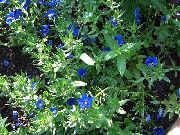 garden flowers dark blue Blue pimpernel Anagallis Monellii  photos, description, cultivation and planting, care and watering