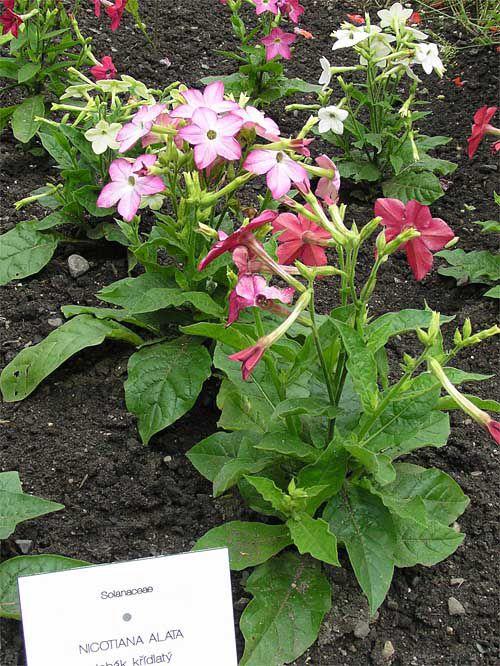 Цветы розовые табак декоративный фото