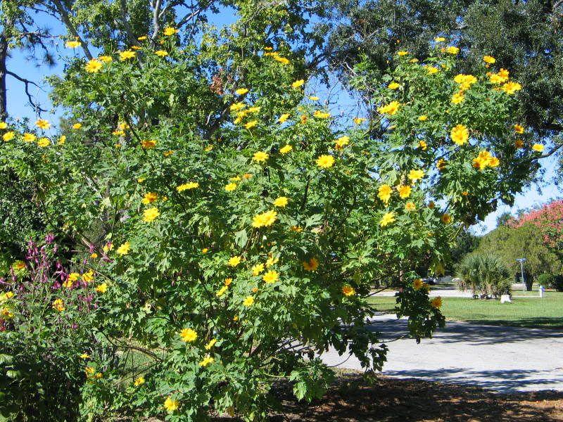 Grape, Wild Fox (Vitis spp) - Flowering Trees and Shrubs of Sleepy
