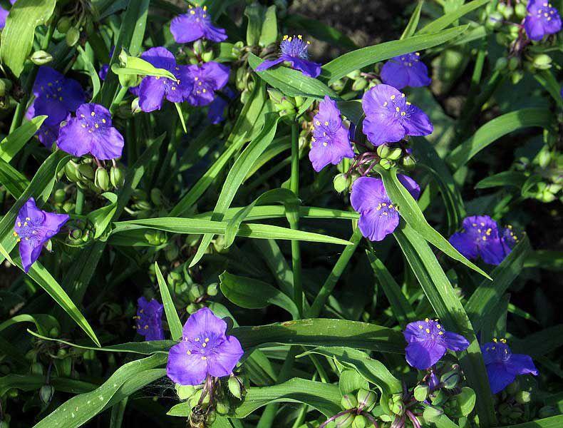 Садовая традесканция фото цветов