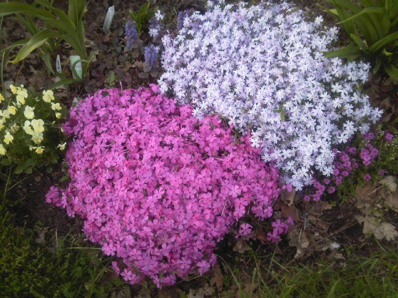 Цветы садовые флоксы с