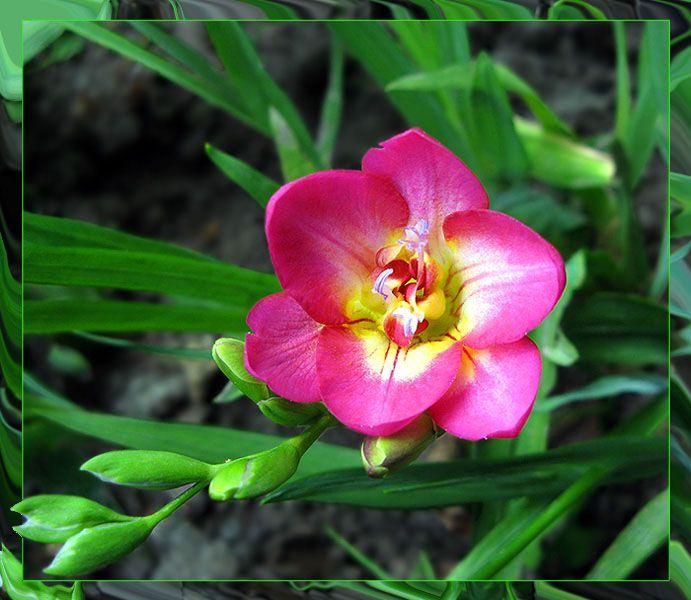 Фрезия выращивание и уход