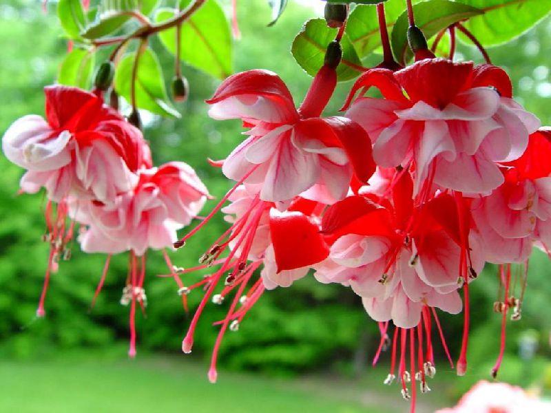 Декоративные садовые цветы красные
