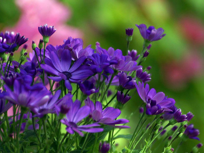 Цветы синие хризантема корейская