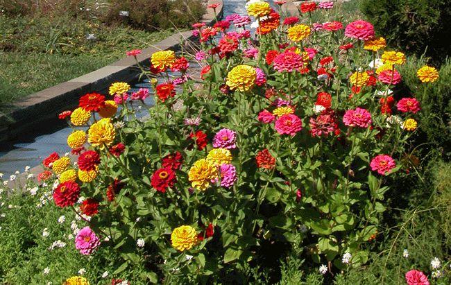 Цинния цветы