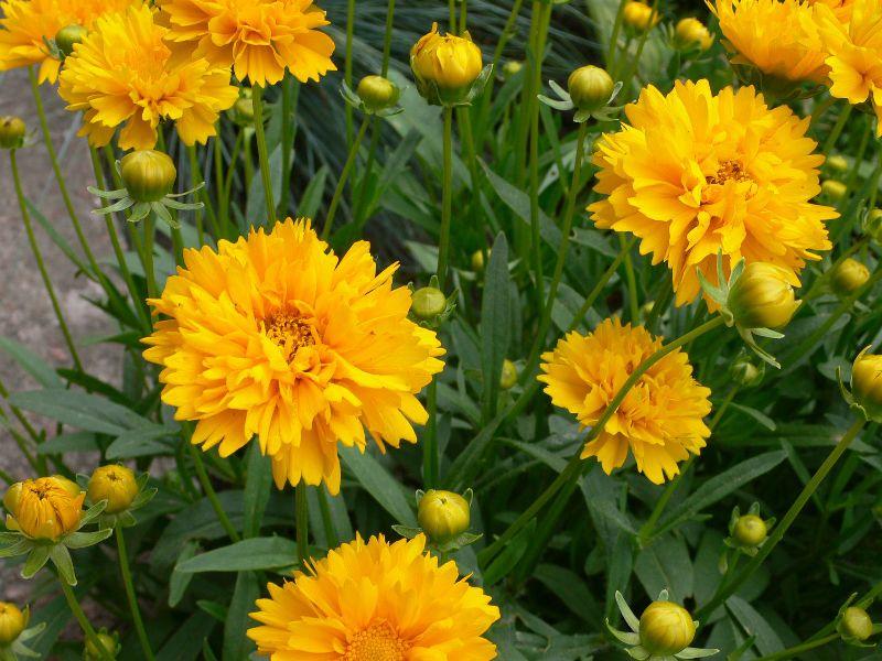 Жёлтый многолетний цветок