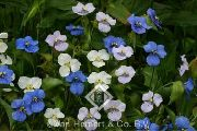 garden flowers white Day Flower, Spiderwort, Widows Tears Commelina photos, description, cultivation and planting, care and watering