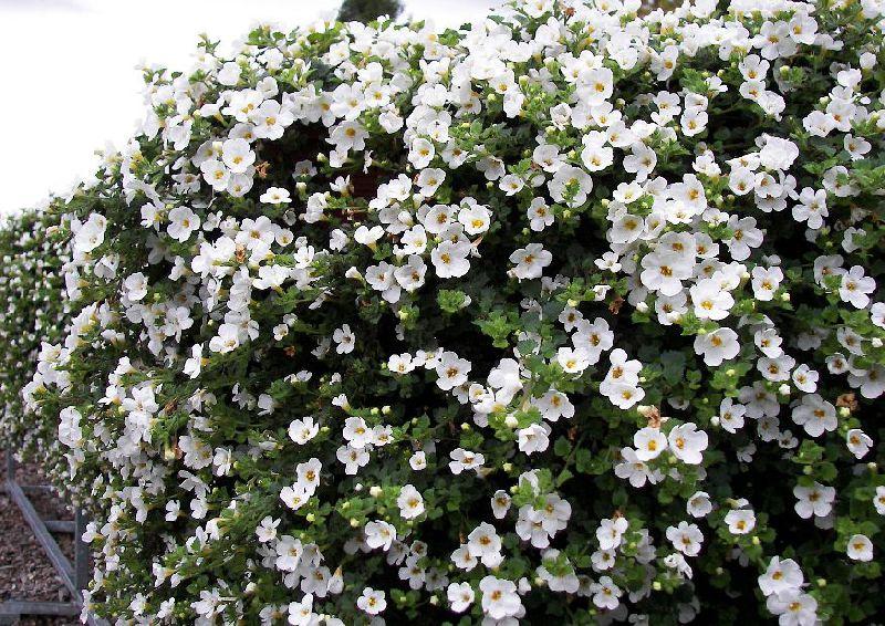 Цветок бакопа.фото