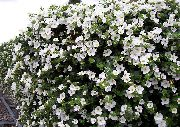 garden flowers white Bacopa (Sutera)  Sutera photos, description, cultivation and planting, care and watering