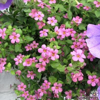 Бакопа фото цветов