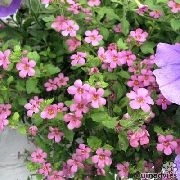 garden flowers pink Bacopa (Sutera)  Sutera photos, description, cultivation and planting, care and watering