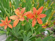 garden flowers orange Blackberry Lily, Leopard Lily  Belamcanda chinensis photos, description, cultivation and planting, care and watering