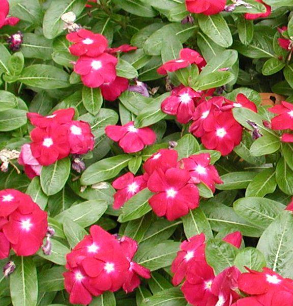 фото барвинок цветы