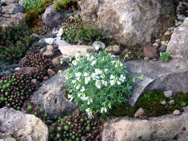Garden flowers rock cress arabis photo cultivation and maintenance garden flowers white rock cress arabis photos description cultivation and planting care and mightylinksfo Gallery