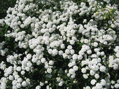 Как выглядит цветок тысячелистник фото