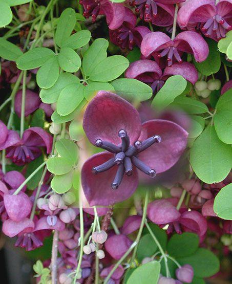 лиана цветок фото: