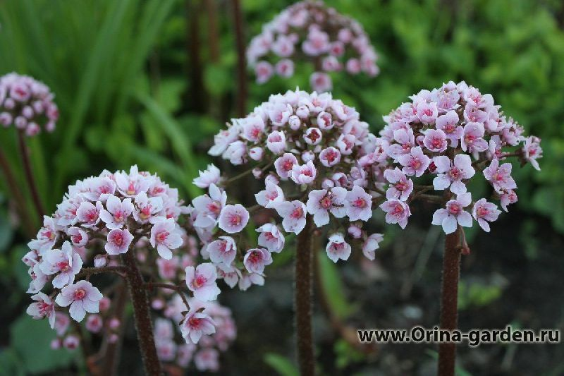 Дармера: посадка и уход, виды и сорта, фото - Многолетние цветы