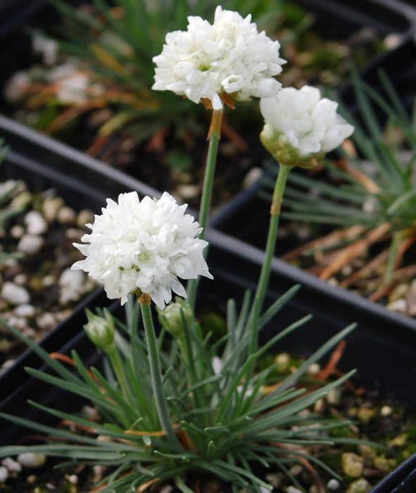 Цветы армерия фото