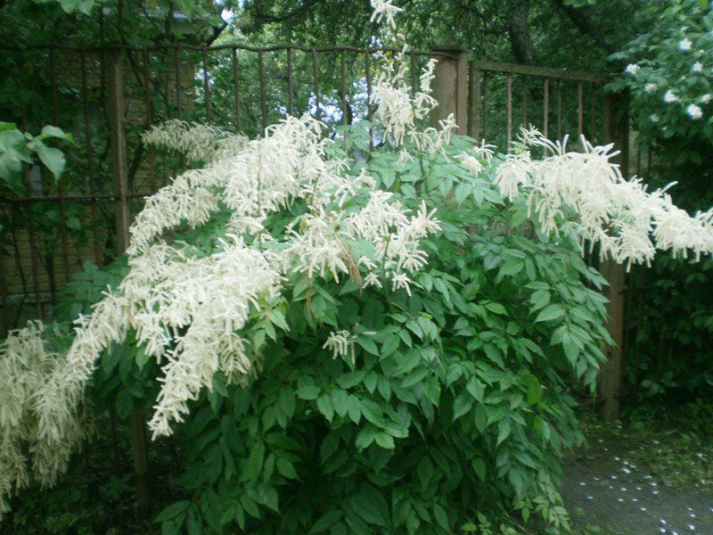 Цветы белые арункус волжанка фото