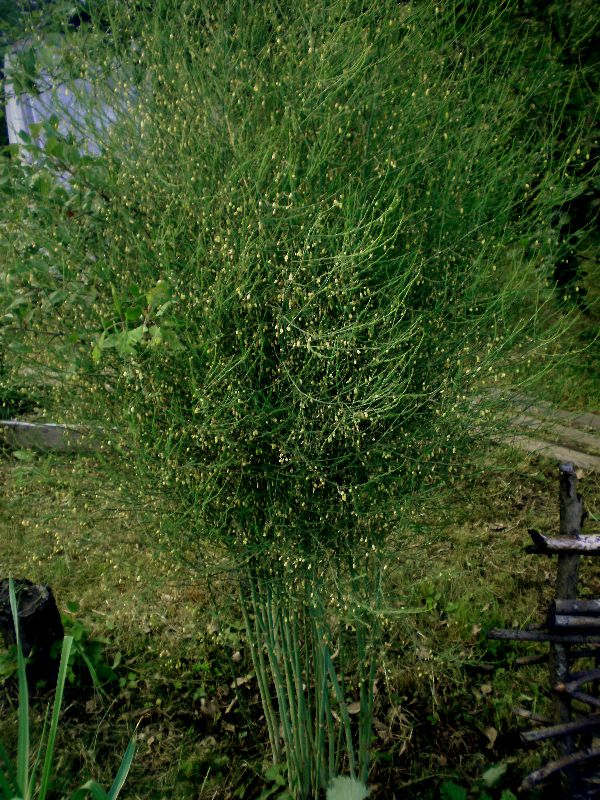 Аспарагус фото выращивание 43
