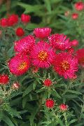 New England Aster rood Bloem