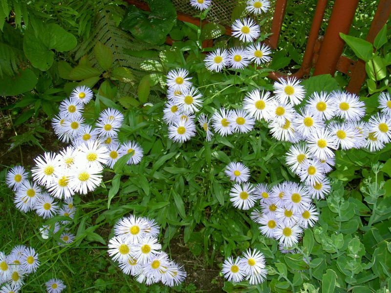 Asters Flowers Care Flowers White Alpine Aster