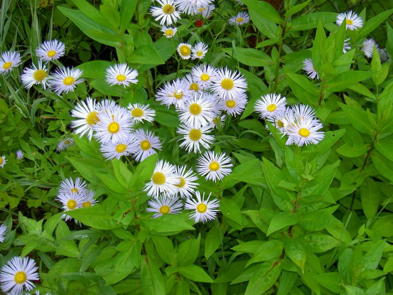 Asters Flowers Care Flowers Lilac Alpine Aster