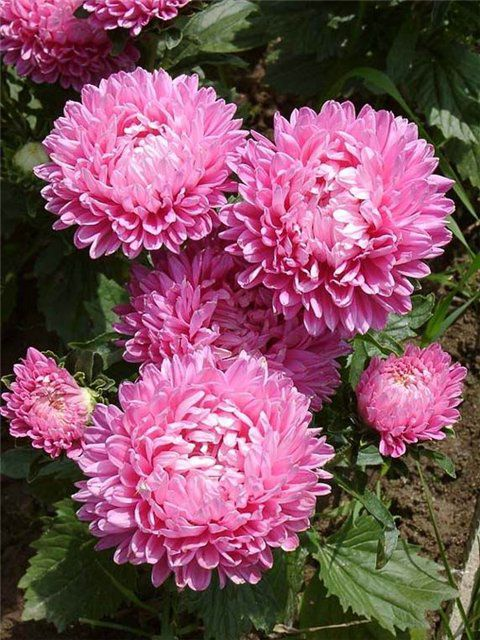 Asters Flowers Care Flowers Pink China Aster