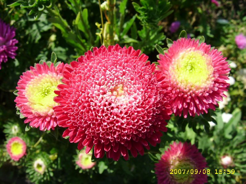 Asters Flowers Care Flowers Red China Aster