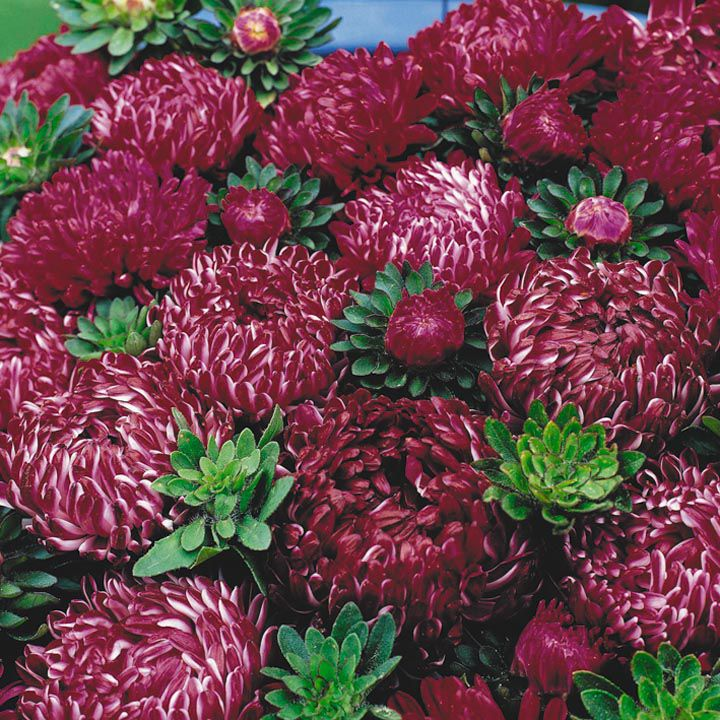 Asters Flowers Care Flowers Claret China Aster
