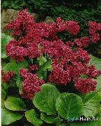 garden flowers red Bergenia Bergenia photos, description, cultivation and planting, care and watering