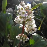 garden flowers white Bergenia Bergenia photos, description, cultivation and planting, care and watering