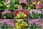 garden flowers dark blue Bergenia Bergenia photos, description, cultivation and planting, care and watering