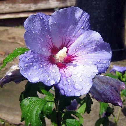 Гибискус китайская роза кустарники