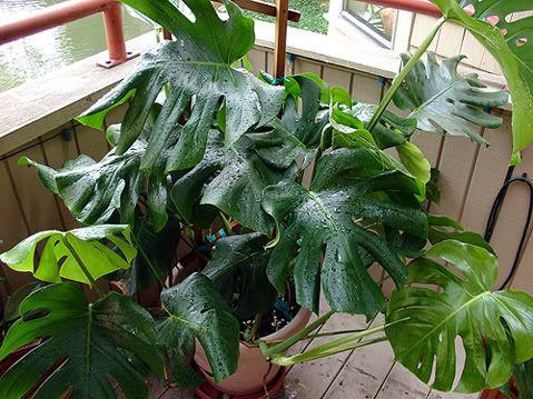 Balcony Plant Balcony Plants Split Leaf
