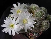 Ребуция Rebutia 'Snow White'